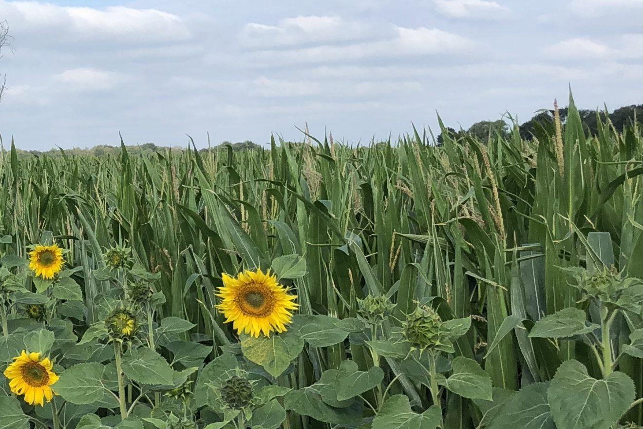 Foto zonnebloemen